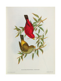 Haematospiza Sipahi  Illustration from 'Birds of Asia'  Vol I  Parts I-Vi By John Gould  1850-54