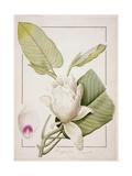 Magnolia Macrophylla  1811