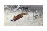 Fox Being Chased Through the Snow