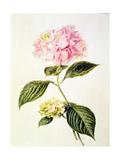 Pd64-1975 Hydrangea Hortensia