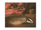 Badger  17th Century