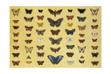 A Collage of Butterflies and Moths Including the Camberwell Beauty  the British Swallowtail  the…