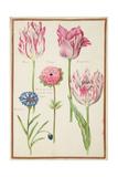Pd109-1973F37 Three 'Broken' Tulips  Cornflower and Anemone