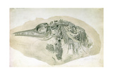 Young Ichthyosaurus from Lyme Regis