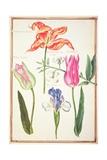 Pd109-1973F35 Flower Studies: Tulips and Blue Iris