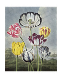 Tulips  Engraved by Earlom  from 'The Temple of Flora' by Thornton  1807