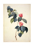 Pd21-1960 Camellia Japonica  1793