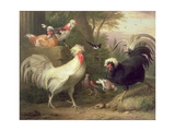 Cockerels and Pigeons