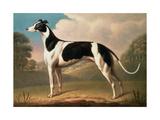 Greyhound  1800