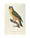 Blue-Capped Parrot by Jacques Barraband (1767-1809)
