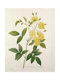 Rosa Banksiae (Banks's Rose)  from 'Choix Des Plus Belles Fleurs'  1827