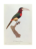 Azara Aracari  Engraved by Barriere