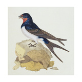Swallow from 'The History of British Birds'  1799