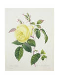Rosa Indica  Engraved by Bessin  from 'Choix Des Plus Belles Fleurs'  1827