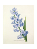 Hyacinthus Orientalis (Common Hyacinth)  Engraved by Victor  from 'Choix Des Plus Belles Fleurs' …
