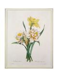 Narcissus Gouani (Double Daffodil)  Engraved by Bessin  from 'Choix Des Plus Belles Fleurs'  1827