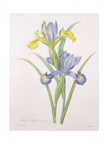 Iris Xiphium  Variety  Engraved by Langlois  from 'Choix Des Plus Belles Fleurs'  1827