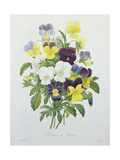 Bouquet of Pansies  Engraved by Victor  from 'Choix Des Plus Belles Fleurs'  1827