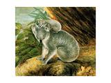 Koala and Young  1803