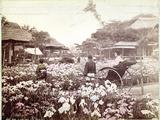 Iris Garden in Tokyo  C1867-80