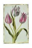 Tulips  C1675