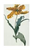 Tulip  C1675