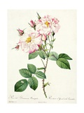 Rosa Damascena Variegata (York and Lancaster Rose)  Engraved by Bessin  from 'Les Roses'  1817-24