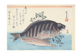 Shimadai and Ainame  from the Series 'The Large Fish'  Utagawa School  C 1840-42