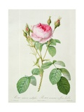 Rosa Muscosa Multiplex (Double Moss Rose)  Engraved by Langlois  from 'Les Roses'  1817-24