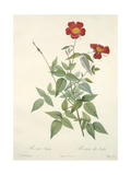 Rosa Indica  Engraved by Chapuy  from 'Les Roses'  1817-24