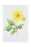 Dalea Simplex  Engraved by Bessin  from 'Choix Des Plus Belles Fleurs'  1827-33