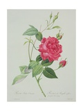 Rosa Indica Cruenta (Blood-Red Bengal Rose)  Engraved by Langlois  from 'Les Roses'  1817-24