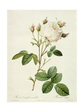 Rosa Centifolia Mutabilis  Engraved by Bessin  Published by Remond