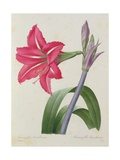 Amaryllis Bresiliensis (Brazilian Amaryllis)  Engraved by Victor  from 'Choix Des Plus Belles…