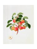 The Tartarian Crab Apple  1819
