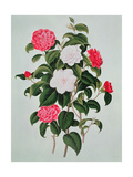 "Camellia Japonica  from ""A Monograph on the Genus of the Camellia""  1819"