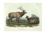 Cervus Canadensis (American Elk  Wapiti Deer)  Plate 62 from 'Quadrupeds of North America' …