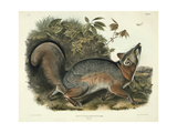 Canis (Vulpes) Virginianus (Grey Fox)  Plate 21 from 'Quadrupeds of North America'  Engraved by…