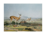 The Spring-Bok or Leaping Antelope  Plate 18 from 'African Scenery and Animals'  Engraved by the…