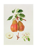 The Chaumontelle Pear  1818