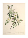 Rosa Redutea Glauca  Engraved by Chapuy  Published by Remond