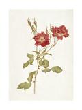 Rose: Bourbon