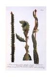 Cereus Scandens Minor  Cereus Scandens Medeus and Triangularis Peruvianus  from 'Phytanthoza…