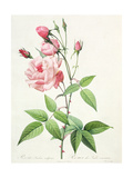 Rosa Indica Vulgaris  Engraved by Bessin  from 'Les Roses'  Vol II  1821
