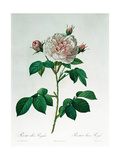Rosa Alba Regalis  Engraved by Bessin