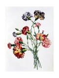 Bouquet of Carnations  from 'Collection Des Fleurs Et Des Fruits D'Apres Nature'  Published 1805
