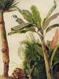 Banana Tree  C1865