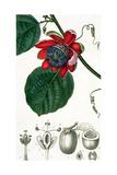 A Passion Flower from Lecons De Flore