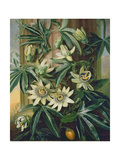 Blue Passion Flower for the 'temple of Flora' by Robert Thornton  1800