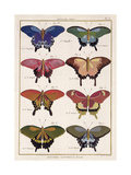 Butterflies from 'Histoire Naturelle Des Insectes' by M Olivier